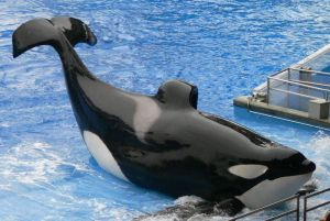 Tilikum and his collapsed dorsal fin