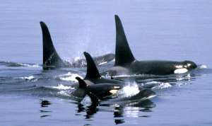 Orca family in the wild